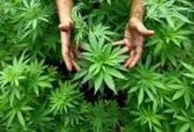 http://www.lacorameco.com.ar/imagenes/cannabis_29mar.jpg